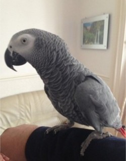 A beautiful litter of health tested Baby African Grey