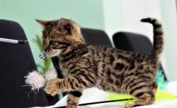 Beautiful Bengal Kitten For Sale