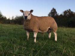 Texel Pedigree Ram Lambs