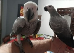 Hand Reared Congo African Grey Parrots Well tame