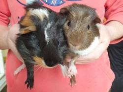 Male Guinea pigs and cage