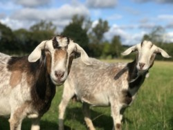 GOATS WANTED