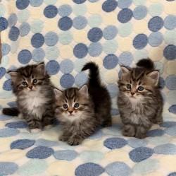 Hypoallergenic Show Class Siberian Kittens,