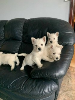 Beautiful West Highland Terrier puppies,