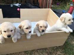 Beautifu Golden Retriver for sale,