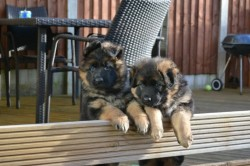 Beautiful German Shepherd puppies,