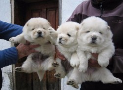 Beautiful chow chow puppies,