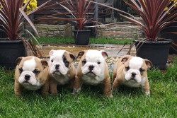stunning English bulldog puppies,