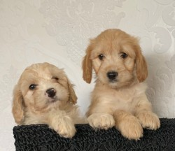 Gorgeous Cockapoo pupies,