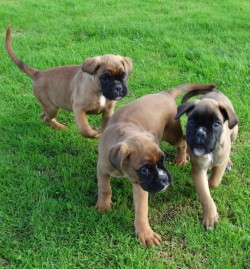 Beautiful Boxer puppies,