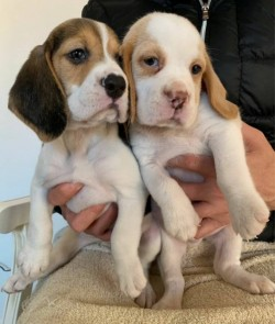Lovely Beagle Puppies.