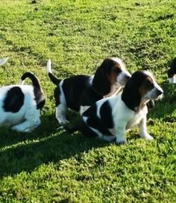 Beautiful basset hound pups.