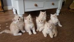 Beautiful Cream Persian Kittens,