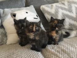 Excellent British Longhair Kittens,