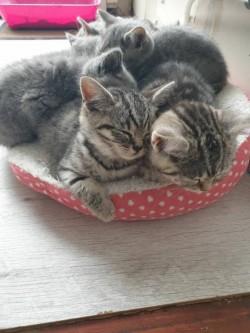 Gorgeous British Shorthair kittens,