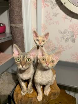 Gorgeous Devon Rex kittens.