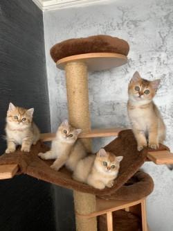 Adorable Scottish Folds Kittens,