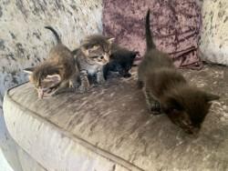 Gorgeous Siamese kittens,