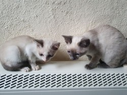 Snowshoe Kittens,