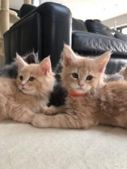 Beautiful Maine Coon kittens,