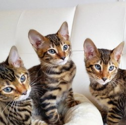 Beautiful Toyger kittens for sale,