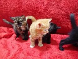 Tortoiseshell Kittens For Sale,