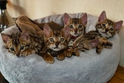 Fantastic Bengal Babies male and female