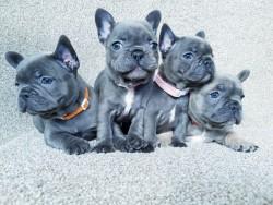 Stunning Kc French Bulldog Puppies