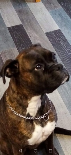 BOXER FEMALE FOR SALE 2YRS OLD