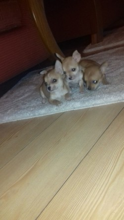 chihuahua puppies (available )