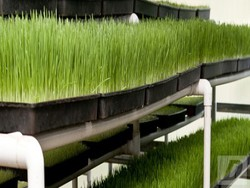 WHEATGRASS for sale