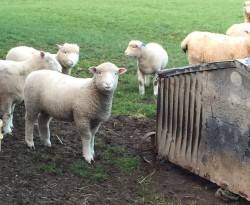 5 Spring lambs for sale for sale