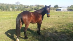 14`2 BAY MARE for sale
