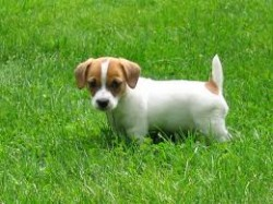 Miniature jack russell pups for sale for sale