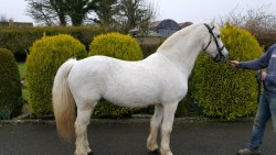 At stud for sale