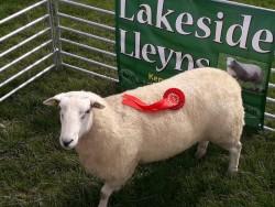 Lleyn Hogget Ram's  for sale