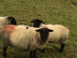 Ewe scanned with three lambs for sale