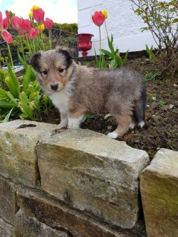 shetland sheep dog pups for sale
