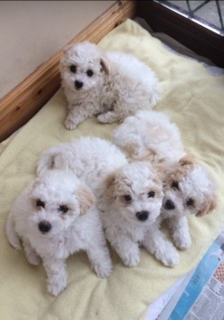 Friendly Bichon Frise Puppies for sale! for sale