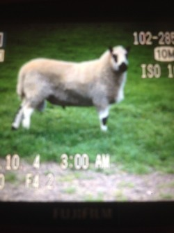 LOOK -- Pure breed Kerryhill ram for sale.