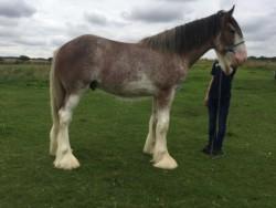 17.3h Gelding Clydesdale Horse