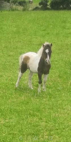 Minture horses