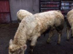 Two Young Charolais Bulls