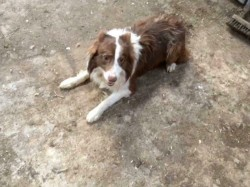 Collie dog for sale