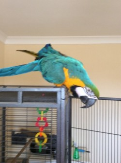 Gorgeous, Handsome Baby blue and gold macaw For Sale