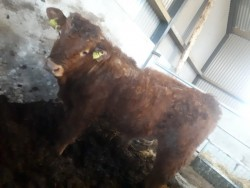 2 LMX weanling bulls for sale