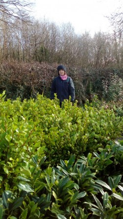 GRISELINIA, GREEN BEECH & THORN HEDGING