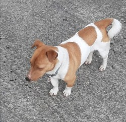 Jack Russell Dog available for stud