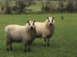 Kerryhill sheep
