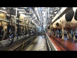 Herds man/Relief Milker